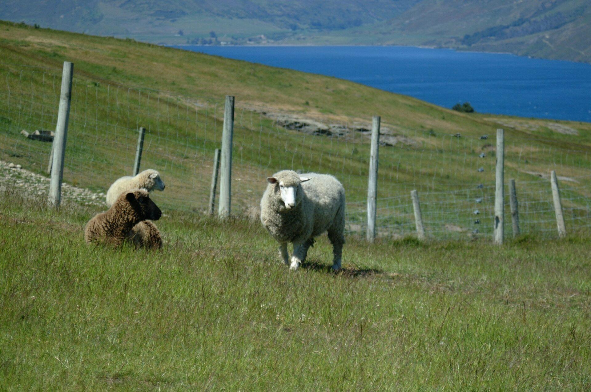 Merino-Schafe in natürlicher Umgebung