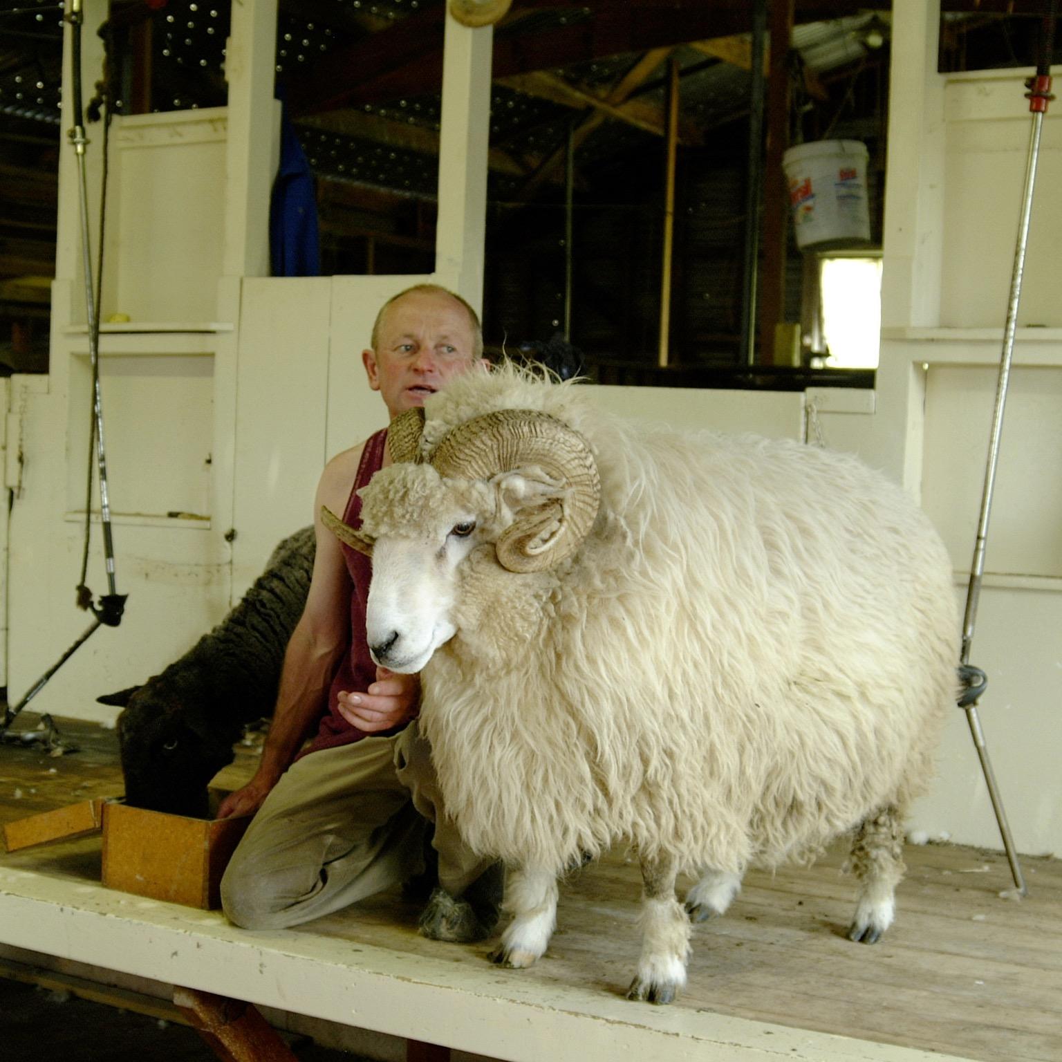 Merino-Schaf vor der Schur