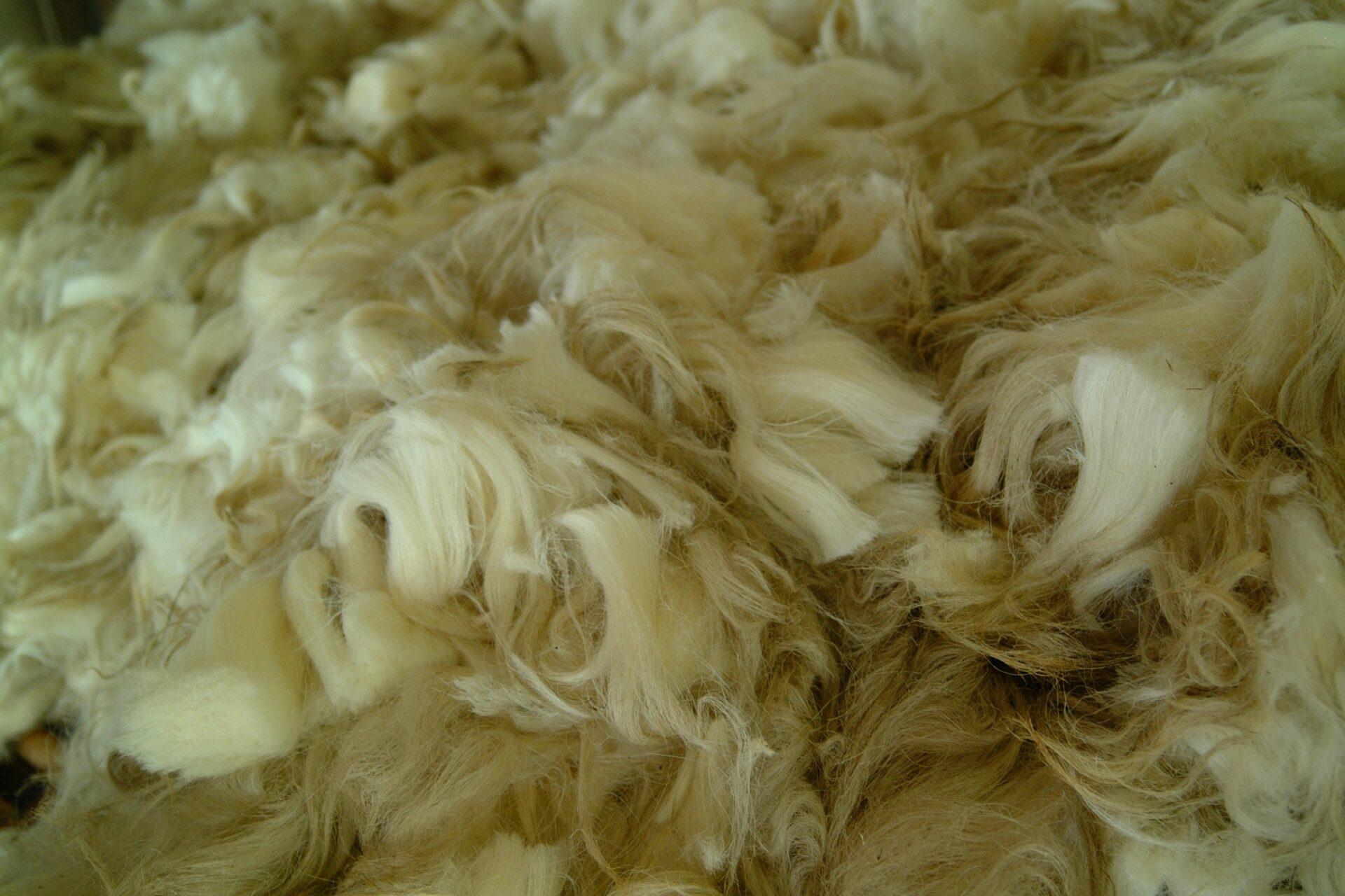 Frisch geschorene Merino-Wolle