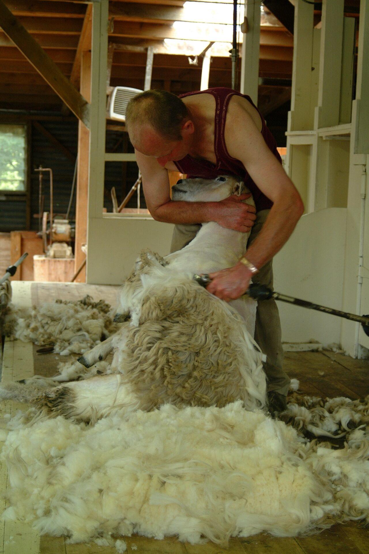 Merino-Schaf bei der Schur
