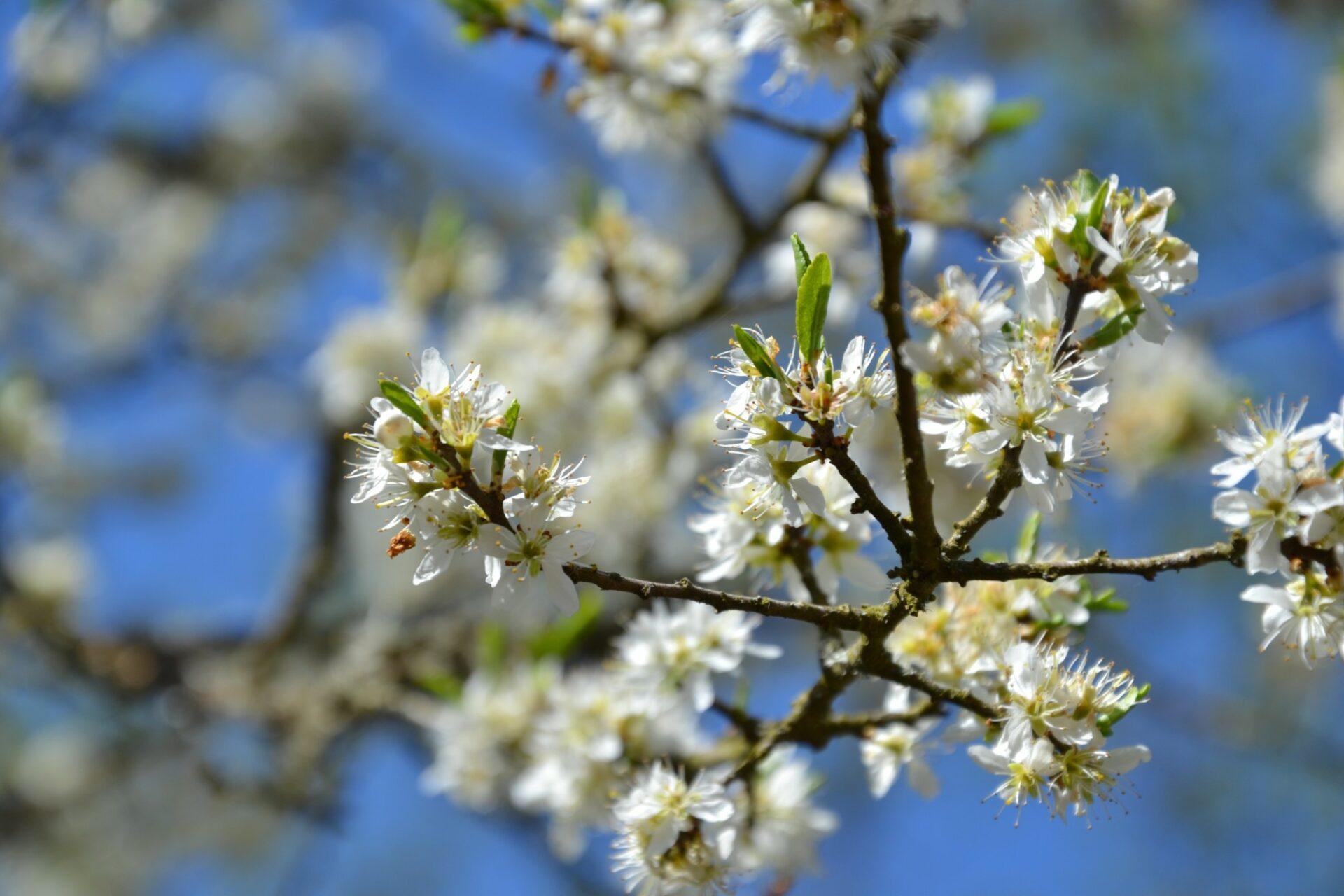 Kirschblüte im Kaisinger Tal