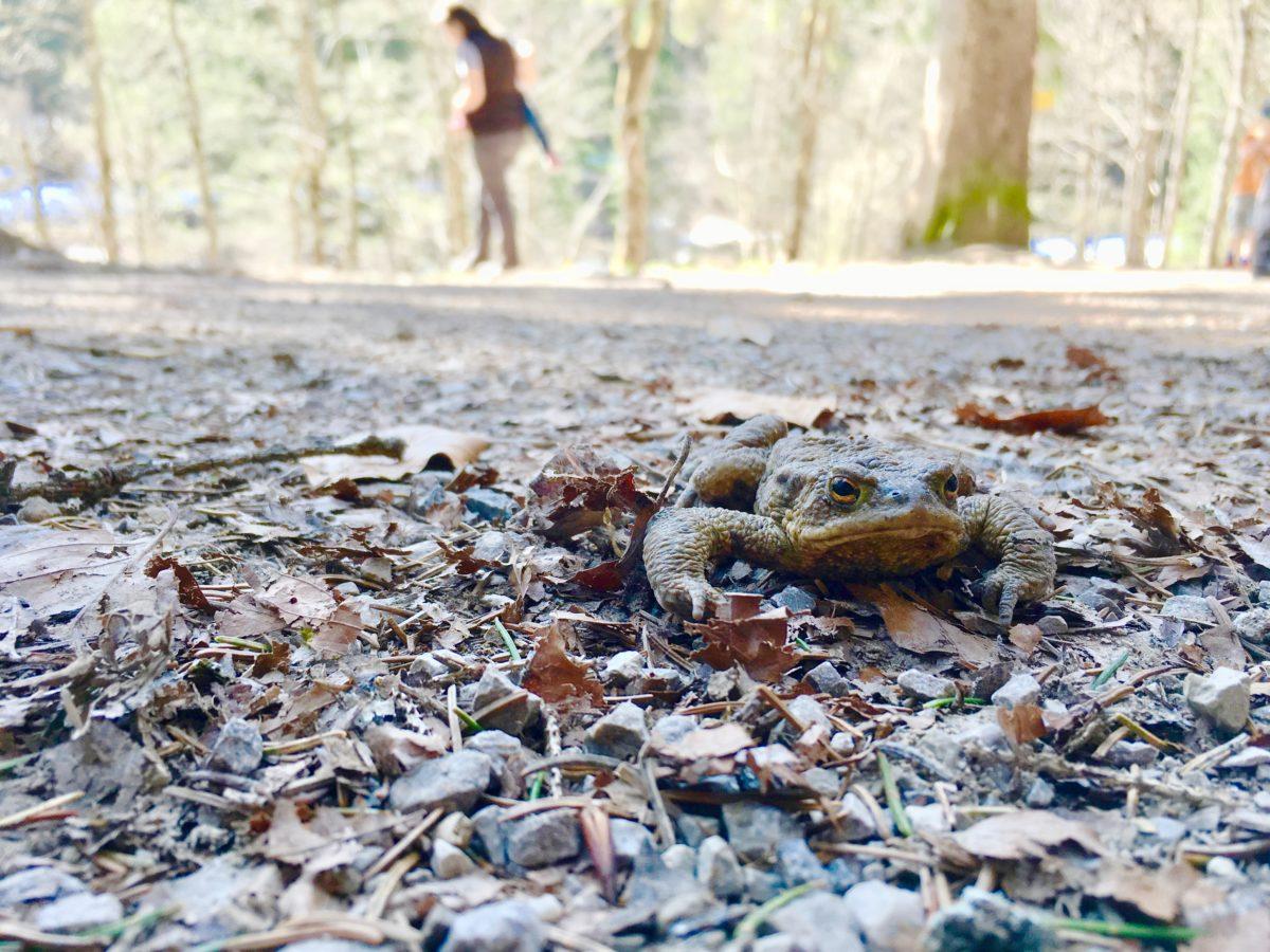 Unser ständiger Begleiter auf der Wanderung am Spitzingsee: Kröten