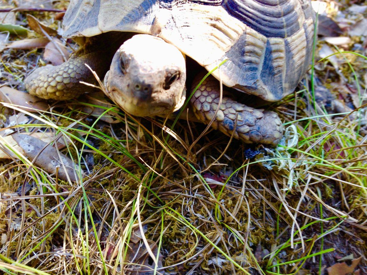 Schildkröte im Asco-Tal